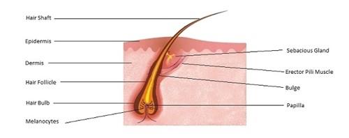 how to grow hair follicles back